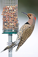 01193-015.03 Northern Flicker (Colaptes auratus) male on peanut feeder, Marion Co. IL