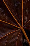 Close-up of big leaf maple autumn colors after rain