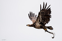 A juvenile bald eagle takes flight with a fish carcass in its talons near Ninilchik, Alaska.