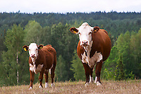 Calf Cow Brown and white Smaland region. Sweden, Europe.