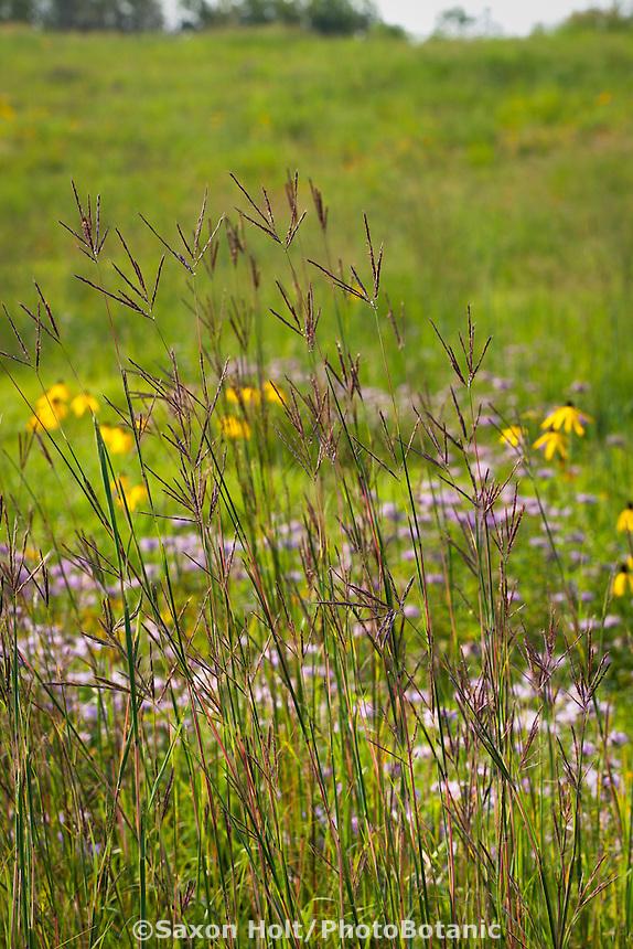 Big blue-stem Andropogon gerardii, native grass flowering in Crow-Hassan Park, Minnesota