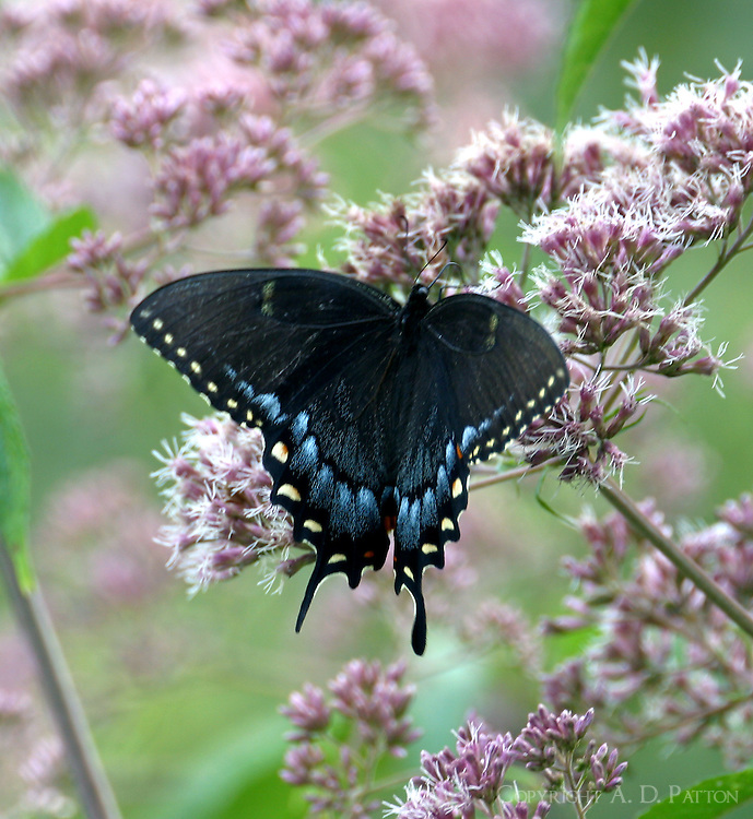 Female tiger swallowtail (dark form) on Joe Pye weed