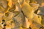 Frost on Ginko Leaves