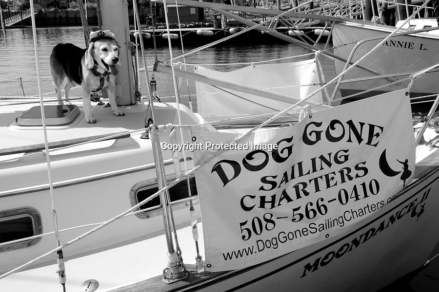 "First mate beagle ""Mate"" waits for guests to arrive aboard the ""Dog Gone Sailing Charters"" sailboat, ""Moondance"" at MacMillan Wharf in Provincetown, MA.  Provincetown was recently voted most dog-friendly town in the U.S.A.  by Dog Fancy Magazine. 8/6/10 Julia Cumes"