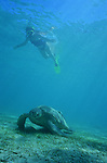 It s an old green turtle (Chelonia Mydas), more than a metre long and weighing probably about 100 kgIndian Ocean,Mayotte, France. The island of Mayotte is one of the best places in the world to swim with turtles.