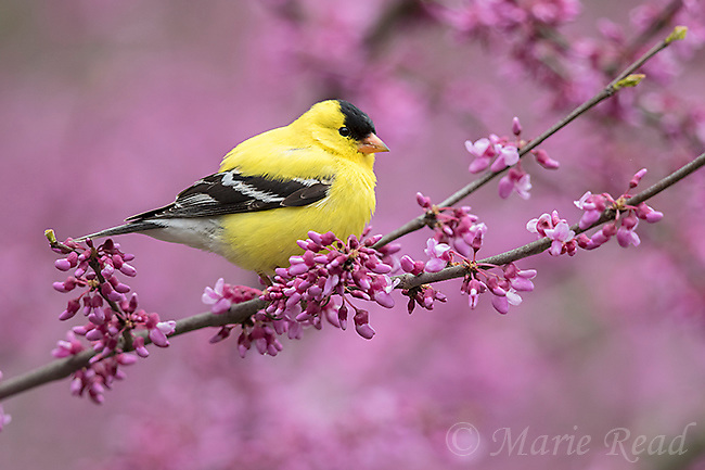 American Goldfinch (Carduelis tristis) male perched in flowering eastern redbud in spring, New York, USA