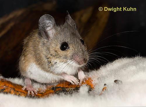 MU59-526z  Deer Mouse on Pumpkin, Pumpkin decomposing from molds, Peromyscus maniculatus
