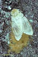 GY03-002c  Gypsy Moth - female laying eggs -  Lymantria dispar