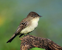 Eastern Phoebe, Brazos Bend State Park, Texas