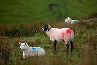 Cheviot and Swaledale ewes near Lancaster, Lancashire.