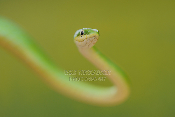 Rough Green Snake (Opheodrys aestivus), adult climbing in tree, Refugio, Coastel Bend, Texas, USA