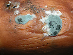 Mold on sweet potato