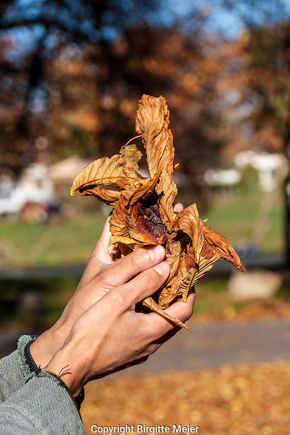 male hands holding fallen leaves in autumn