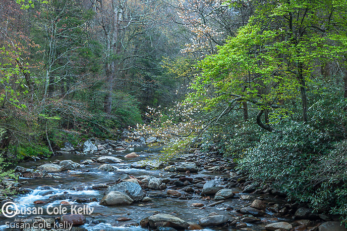 Serviceberry bloom on the Little Pigeon River, Great Smoky Mountains National Park, Tennesee, USA