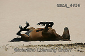 Bob, ANIMALS, REALISTISCHE TIERE, ANIMALES REALISTICOS, horses, photos+++++,GBLA4456,#a#, EVERYDAY