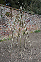 Hazel-pole wigwam for supporting climbing beans, Walled Garden, Hinton Ampner, Hampshire.