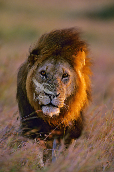 African lion (Panthera leo) male walking on savanna near sundown, Masai Mara National Reserve, Kenya.