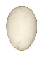 Manx Shearwater - Puffinus puffinus