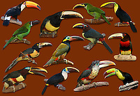 Toucans, Toucanets, and Aracaris (Ramphastids)
