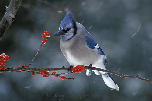 Blue jay perched on a branch with red berries in a snowstorm