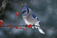 Jays - Blue Jays and Scrub jays
