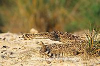 02905-003.13 Western Diamondback Rattlesnake (Crotalus atrox) Starr Co. TX