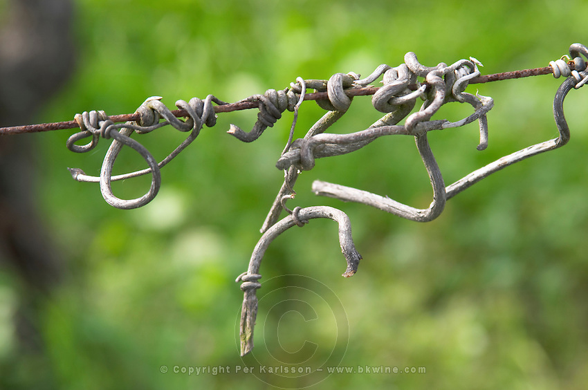Vine twig on wire. Chateau Richelieu, Fronsac, Bordeaux, France