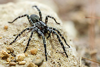 Eight legged baby boom breeds hope for critically endangered wolf spiders at Longleat.