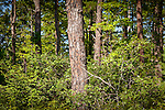 Ossipee Pine Barrens (Nature Conservancy), Ossipee, Lakes Region, NH, USA