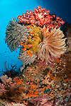 Colourful crinoids and soft corals adorn a reef in Raja Ampat, West Papua, Indonesia