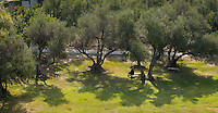 Olive trees on the lawn near Booth Hall, as seen from a lift. Nov. 13, 2014. (Photo by Marc Campos, Occidental College Photographer)
