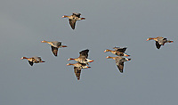 A small flock of greater white-fronted geese fly into the sun against a dark cloud.<br />