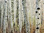 Growing alder trees