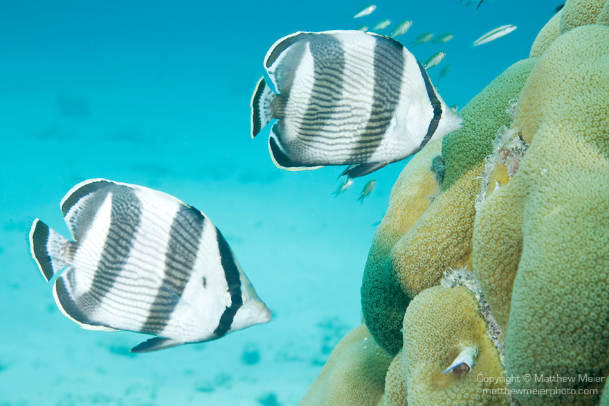 Bonaire, Netherlands Antilles; a pair of Banded Butterflyfish and a school of Brown Chromis fish swim over a large coral head sitting on the sandy bottom , Copyright © Matthew Meier, matthewmeierphoto.com All Rights Reserved