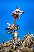 A fallen Shoe Tree on Route 66 near Ambboy California.  The tree fell in March of 2010, but continues to grow with shoes.