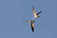 Two African Skimmers chasing each other