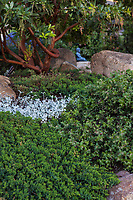 Juniperus communis var saxatilis Common juniper and Arctostaphylos cruzensis - Arroyo De La Cruz Manzanita, low growing evergreen shrubs as groundcover native plant garden; Vincent Garden