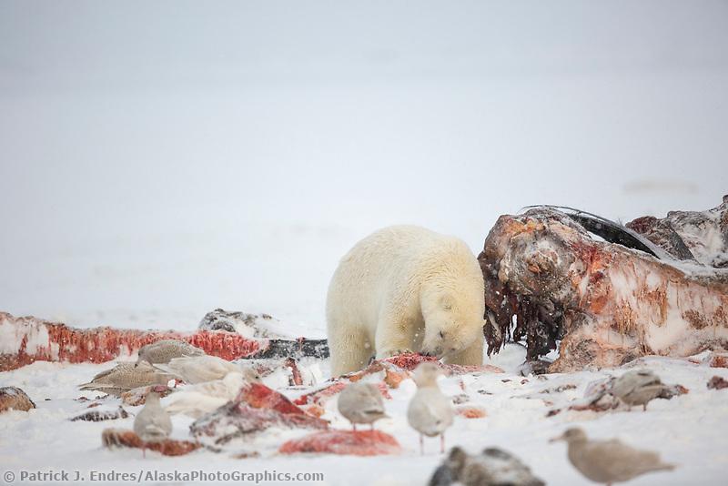 Polar bear feeds on the carcass of a Bowhead whale on Barter Island, Alaska.