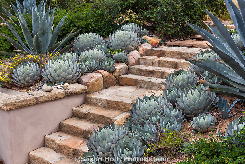 Stone step path between succulent border with Agave in summer-dry garden Santa Barbara California