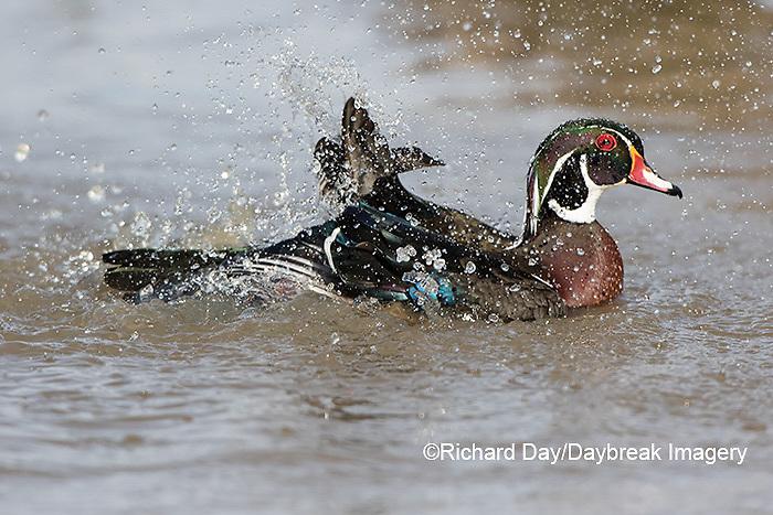 00715-09017 090.12 Wood Duck (Aix sponsa) male bathing in wetland, Marion Co., IL