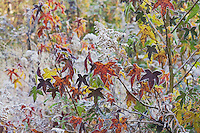 American Sweetgum (Liquidambar styraciflua), leaves frost covered, Lillington, North Carolina, USA
