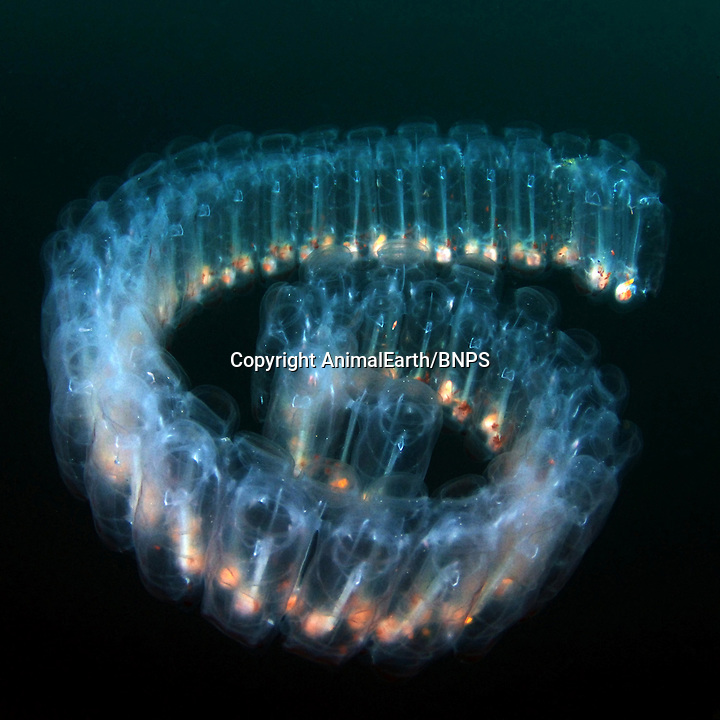 BNPS.co.uk (01202) 558833<br /> Picture: Kevin Lee<br /> <br /> A Salp, which is a colony of zooids (Pegea confoederata) by Kevin Lee<br /> <br /> New book uncovers the animal world in all its profusion and glory featuring an astounding cornucopia of astonishing life.<br /> <br /> An extraordinary new book reveals the weird and wonderful diversity of life on earth with a selection of stunning pictures of some of the lesser known creatures that inhabit the planet.<br /> <br /> Author Ross Kemp has travelled the globe photographing and researching some of the worlds wackiest animals, many to small to be seen by the human eye, for his new book Animal Earth.<br /> <br /> The book shows the bizarre lives of some of the most unknown and overlooked animals on the planet. Incredible photographs by some of the World's best macro photographers show the marine world in unprecedented detail. Some of the photographs reveal weird and wonderful organisms that have transparent skin, bold colours and some even appear to glow in the dark. <br /> <br /> The book, Animal Earth, costs &pound;29.95 from thamesandhudson.
