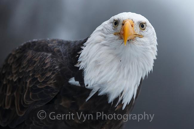 Bald Eagle (Haliaeetus leucocephalus) portrait. Southeast, Alaska. December.