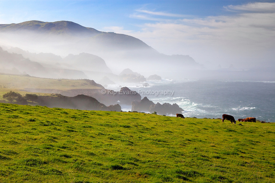Cows graze a field along the Big Sur Coast, California.