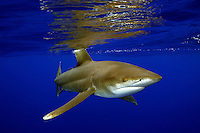 Oceanic whitetip sharks [Carcharhinus longimanus] are very curious open ocean predators that show little forethought and will approach anything drifting. Hawaii.