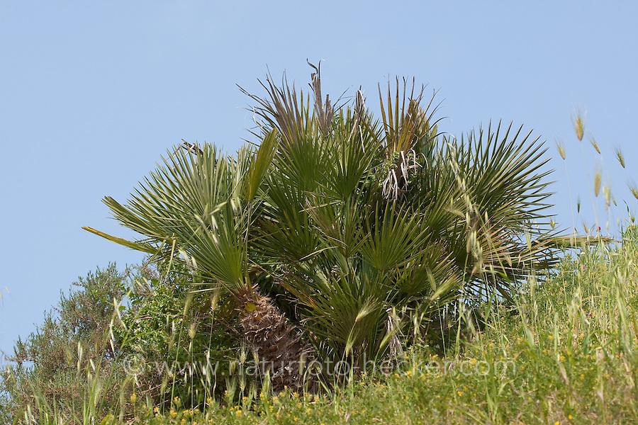 Europäische Zwergpalme, Zwerg-Palme, Palme, Chamaerops humilis, Mediteranean Fan Fern, Palmito, European Fan Palm, Mediterranean Fan Palm, Palmier nain, Sizilien, Italien
