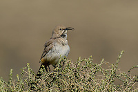 581970012 a wild lecontes thrasher toxostoma lecontei perches on a desert plant in kern county california united states