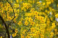Parkinsidium 'Desert Museum' (syn. Parkinsonia or Cercidium 'Desert Museum'), yellow flowers of hybrid Palo Verde tree; Tree of Life Nursery