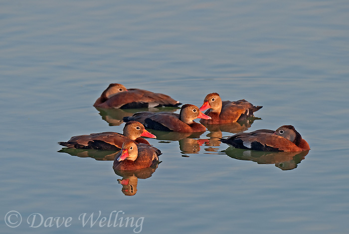 596880133 a small flock of wild black-bellied whistling ducks dendrocygna autumnalis float on a pond at edinburg world birding center edinburg texas united states