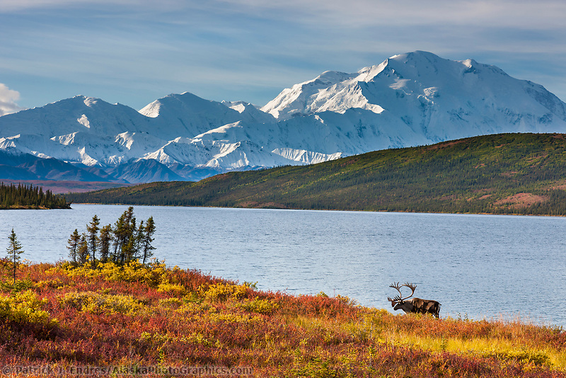 Bull caribou in autumn tundra along the shore of Wonder Lake, mt Denali of the Alaska Range mountains, Denali National Park, Interior, Alaska.